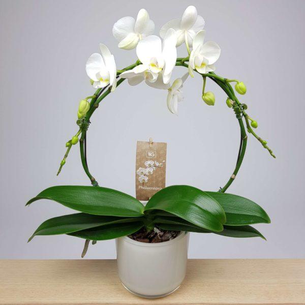 Orchidee Wit boog Crea-fleur