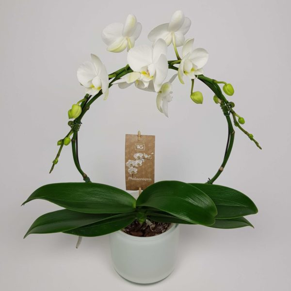 Orchidee boog wit Crea-fleur