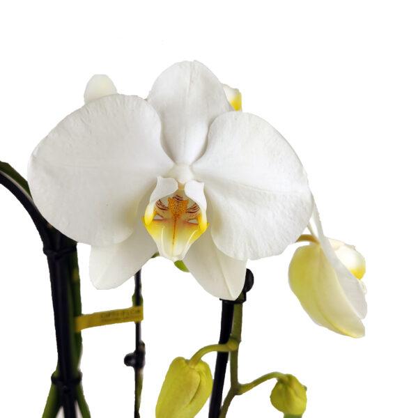 Orchidee Wit Fontano 3 takken met bloempot foto detail