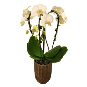 Orchidee Wit Fontano 3 takken met bloempot_bloem met bloempot