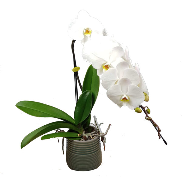 Orchidee wit Bellissimo