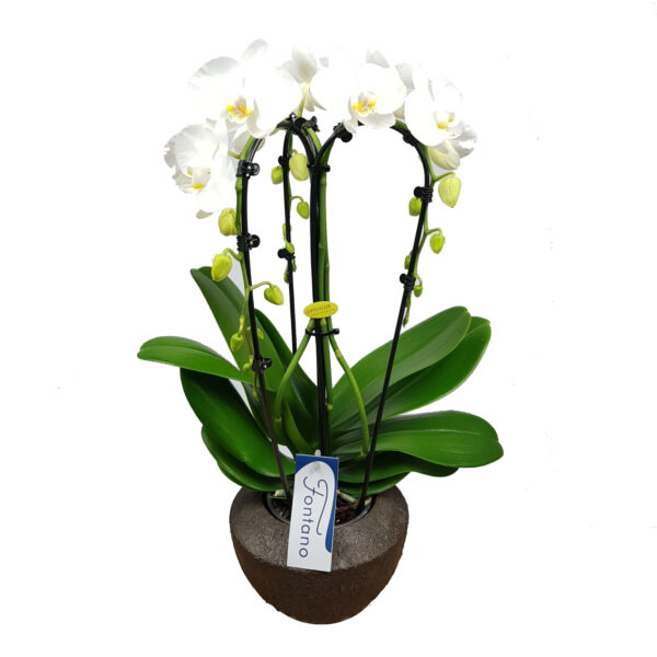 Orchidee wit Fontano