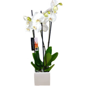Orchidee wit Phalaenopsis