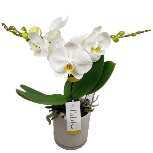 Orchidee wit TablO