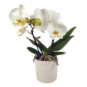 Orchidee wit Tabl'O