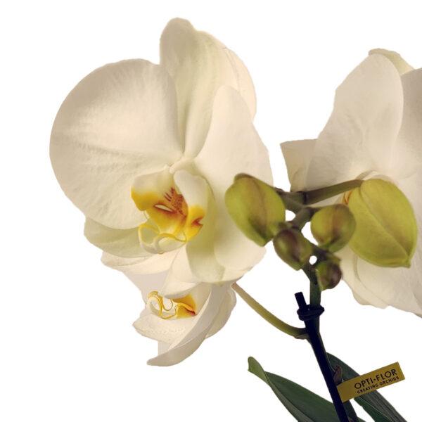 Orchidee wit Tabl'O bloem