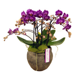 Orchidee paars Bellissimo