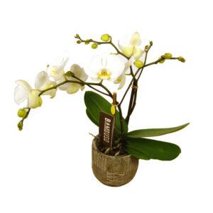 Orchidee wit Bambuso