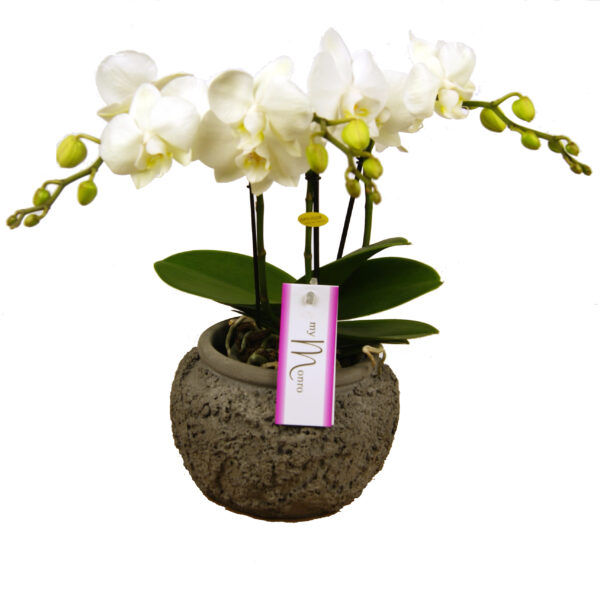 Orchidee wit Mymono