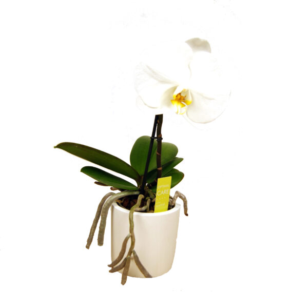 Orchidee wit Optimal care