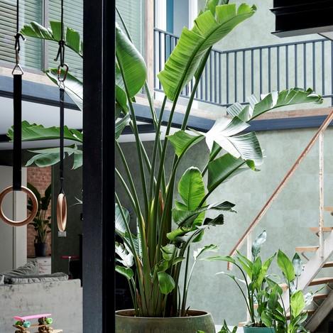 Strelitzia plant www.bloemenbureauholland.nl