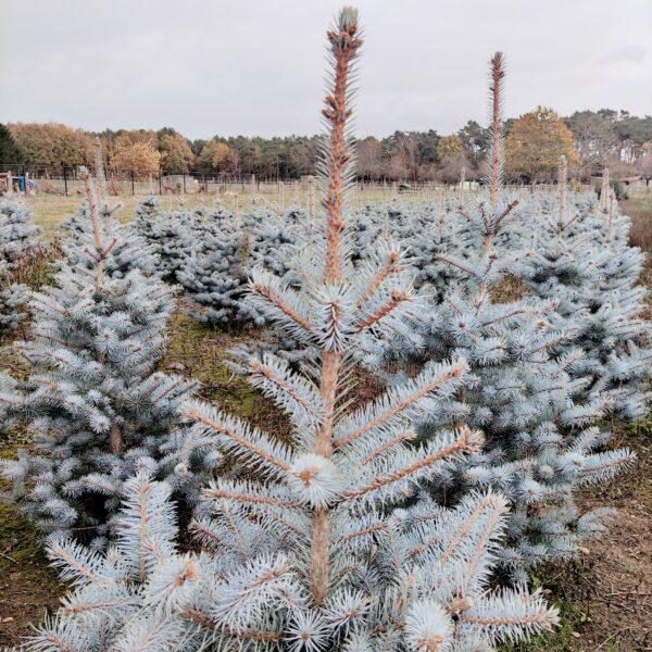 Blue diamond kerstboom