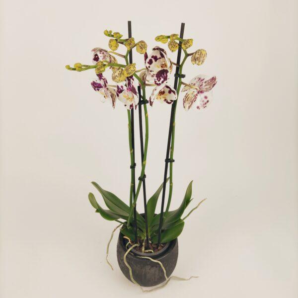 Orchidee wit met paarse spikkels