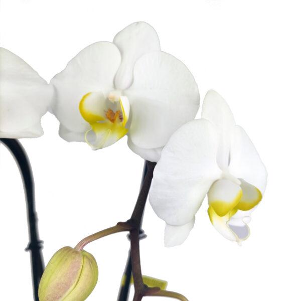 Fontano witte orchidee detailfoto