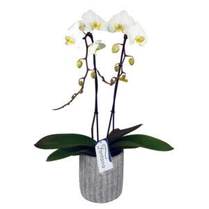 Fontano witte orchidee met bloempot overzicht