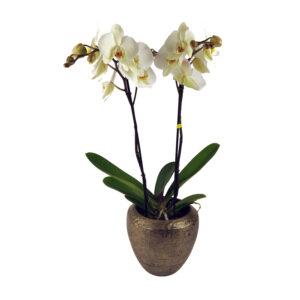 Maistro orchidee plant