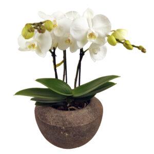 Orchidee Wit Mymonro 3 takken bloempot