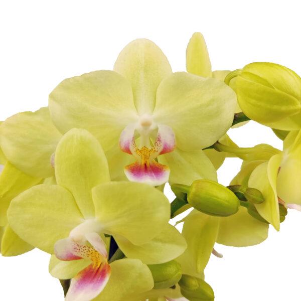 Orchidee Groen Boquetto 3 takken met bloempot - bloemen