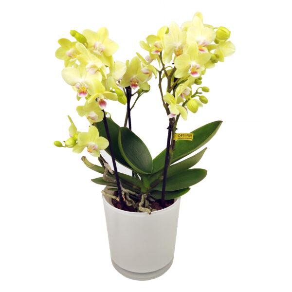 Orchidee Groen Boquetto 3 takken met bloempot - plant