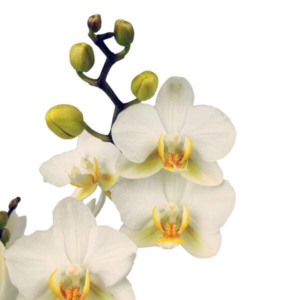Orchidee Wit Boquetto 3 takken met bloempot - bloemen
