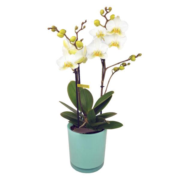 Orchidee Wit Boquetto 3 takken met bloempot - plant