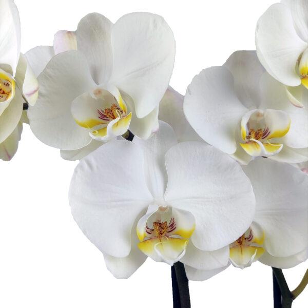Orchidee Wit Optimal Care 2 takken met bloempot - bloemen