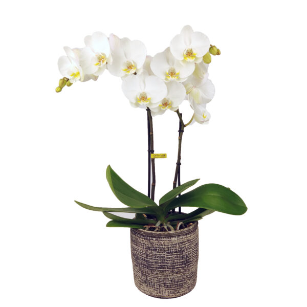 Orchidee Wit Optimal Care 2 takken met bloempot - plant