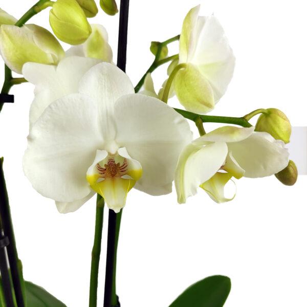 Orchidee Wit 3 takken_bloemen