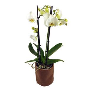 Orchidee Wit 3 takken_plant met bloempot