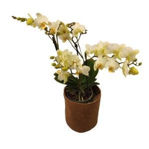 Orchidee Wit Boquetto 5 takken met bloempot_bloem met bloempot