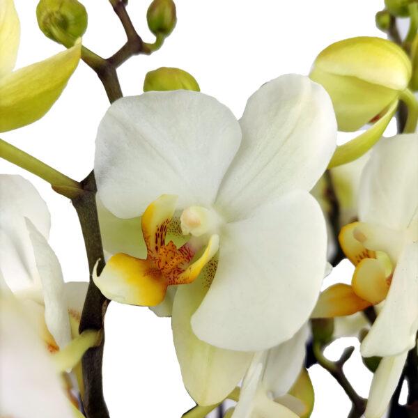Orchidee Wit Boquetto 5 takken met bloempot_bloemen