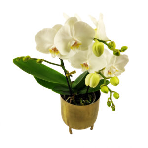 Orchidee Wit TablO 2 takken met bloempot_plant met bloempot
